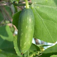 20 CUCAMELON SEEDS Mouse Melon Melothria Scabra Superior Cucumber Heat Tolerant