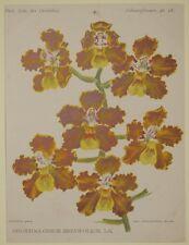 COGNIAUX GOOSSENS ODONTOGLOSSUM BREVIFOLIUM ORCHIDEE ORCHIDS ORCHIDEE FIORI 1800