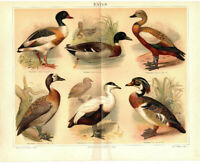 Lithographie: Enten, Original 1897 - no copy Bild Druck Lithograph Ducks Vögel