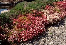 Fairy Flower Seeds  Saxifraga - arendsii Mixed x 50 seeds Easy and fast to Grow