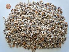 Sea Shells Tiny Conch Seashells (approx 2500 Pc) Beach Art Bead Decor Craft BULK