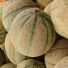 HONEY ROCK 20 SEEDS Cucumis melo HEIRLOOM NON-GMO Sweet High Brix Cantaloupe USA