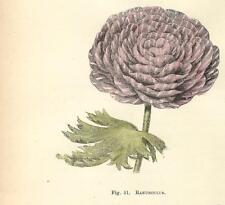 Stampa antica FIORI RANUNCOLO RANUNCULUS botanica 1896 Old Antique print