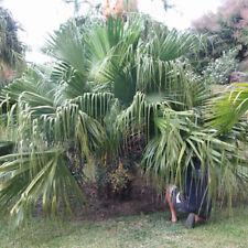 Livistona chinensis/palm/latania china-lot of 10 seeds