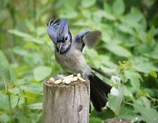 METAL REFRIGERATOR MAGNET Male Bluejay Eating Peanuts Bird Birds