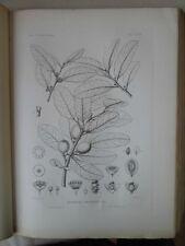 Vintage Print,Plate 307, WHITE WOOD,, 1st Ed,c1900, SILVA, Trees