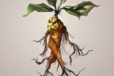 Alraune Mandragora officinarum Alraunwurzel Mandrake Harry Potter Zauberpflanze