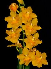 🌿Oncidium Burrageara Sunkissed 'Buttercup'- Compact Orchid Plant Blooming Size