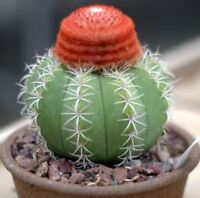 Melocactus Matanzanus (5-100 SEEDS) Very Rare Cactus Succulent Plant Samen Korn
