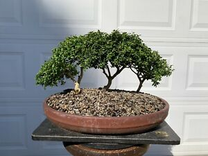 Kingsville Boxwood Bonsai Forest Buxus microphylla
