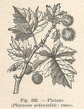B1086 Platanus orientalis - Incisione antica del 1929 - Engraving