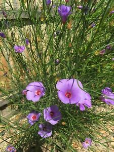 SEEDS-Native Hibiscus-Alyogyne hakeifolia-Purple/Deep Pink Petal with Red centre