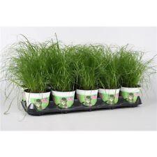 Katzengras Cyperus alternifolius Zumula - zur Verdauungsunterstützung von Katzen