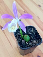 Pleione Formosana - Peacock Orchid - Hardy Indoor Outdoor Plant - Houseplant