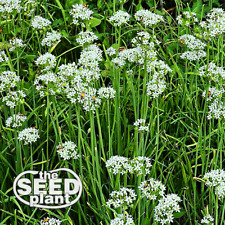 Garlic Chives Seeds - 300 SEEDS SAME DAY SHIPPING