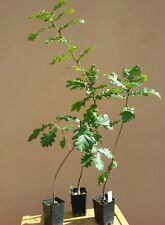 Quercus pubescens, Roverella, Quercia, Pianta, Albero, Vaso Nero