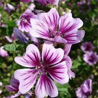 Malva Sylvestris Zebrina- (Hollyhock)- 25 Seeds