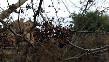 Hardy Zanthoxylum piperitum Japonais Poivre 20 fresh seeds 2017