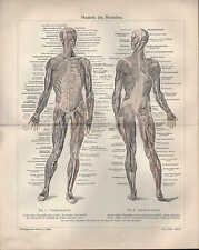 Lithografie 1908: MUSKELN DES MENSCHEN. BÄNDER DES MENSCHEN. Medizin Körper
