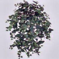 KANGAROO VINE SEEDS CISSUS ANTARTICA NATIVE FLOWERING CLIMBER