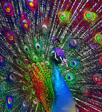 """Feathers PEACOCK 4 pieces  9"""" - 12"""" BRAND NEW UK Stock"""