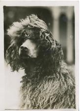 Londres, exposition canine au Cristal Palace, un chien Mouton Vintage silver Pri