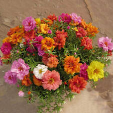 1200PCS-Fresh-Flower-Seeds-Moss-Rose-Double-Mix-Portulaca-Grandiflora-Gardening