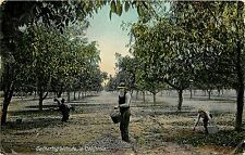 1907-1915 Postcard Gathering Walnuts in California CA Agriculture Orchard Unused