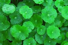 110 Graines de Gotu Kola Centella asiatica , medicinal herb Seeds