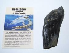 MEGALODON TOOTH SHARD (Partial) Fossil Shark (Med) up to 25 Mil Y.O. #1388 9o