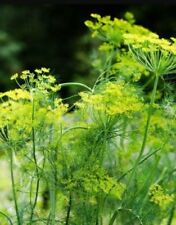 Anethum Herb Seeds