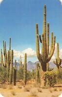 Postcard Saguaro Forest Arizona