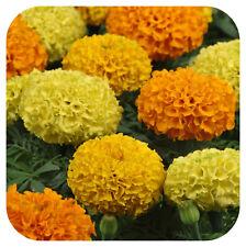 African Marigold Inca mixed Mini Plug Plants x 24 For Potting On