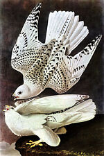 John James Audubon  Gyrfalcon 15x22 Beautiful Art Print Hand Numbered