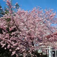 170 cm im Co Sauerkirsche Kirsche Prunus cerasus /'Schattenmorelle/' Halbstamm ca