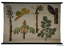 old rollable botanical wall chart buckeye conker horse chestnut sunroom