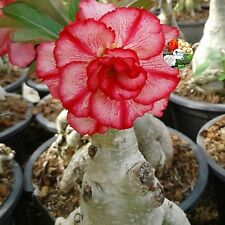 "Adenium Obesum Desert Rose Impala Lily ""Yai-Mai"" Red Flower Grafted Plants Fresh"