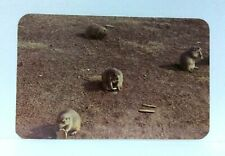 Devils Tower National Monument Wyoming Prairie Dogs Postcard