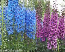 500 Delphinium Ajacis Seeds Rocket Larkspur Consolida Mix Flower Perennial ComSh
