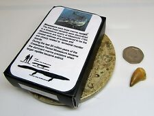 Real fossil mosasaur tooth & gift box & information card - dinosaur & nature