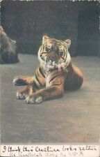 Postcard Tiger At rest Early Colour card Posted 1905