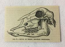 small 1880 magazine engraving ~ Skull Of A Sheep