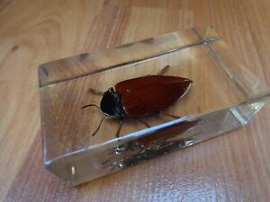 AFRICAN JEWEL BEETLE TAXIDERMY GLASS BLOCK REAL LIFE BUGS & INSECTS COLLECTION
