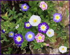 35 Graines de fleurs Belle de Jour Méthode BIO coloris variés seeds fleurs