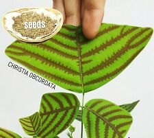 Christia Obcordata or Butterfly Wing Plant - FRESH REAL organic Seeds