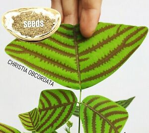 LARGE leaf Christia Obcordata or Butterfly Wing Plant - FRESH REAL organic Seeds