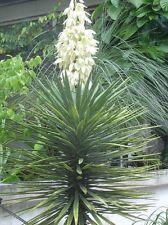 4 Semillas Yuca (Yucca Aloifolia) (S)