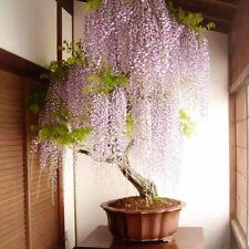 20Pcs Purple Wisteria Flower Seeds Perennial Climbing Plants Bonsai Home&Garden