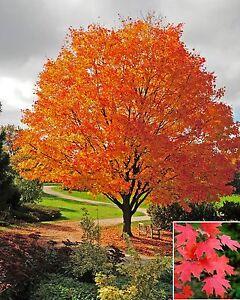 Acer saccharum (Sugar Rock Maple) 10 Tree Seeds | RARE Outdoor Garden Bonsai UK