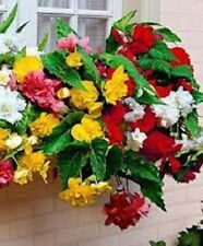 15 Begonia Seeds Trailing Cascade Mix Pelleted Seeds